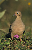 Mourning Dove, Zenaida macroura,adult in Wildflowers, Starr County, Rio Grande Valley, Texas, USA