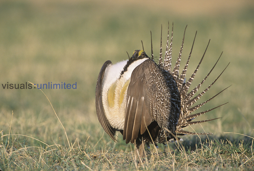 Male Greater Sage Grouse (Centrocercus urophasianus) mating display on lek, Wyoming.