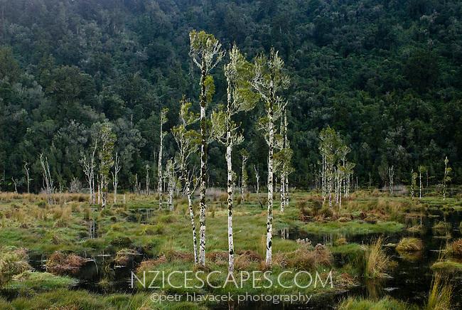 A scene with young trees near Waitangitaona River near Whataroa, West Coast