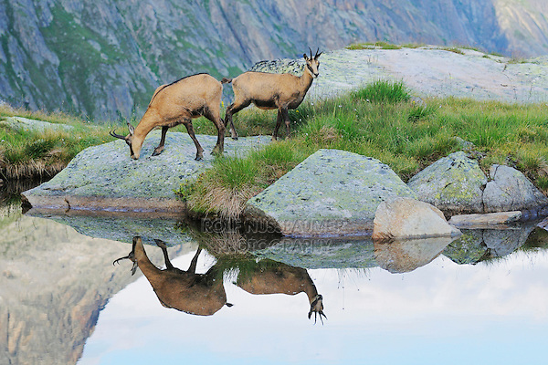 Chamois (Rupicapra rupicapra), adults with reflection in lake, Grimsel, Bern, Switzerland, Europe