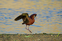 550100030a a wild glossy ibis plegadis falcinellus in breeding plumage performs a wing stretch along the los angeles river in the sepulveda basin in los angeles county california approximately 1500 miles west of its normal range