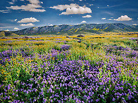 Devil's Lettuce or Fiddleneck (Amsinckia tessellata), and purple Fremont's Phacelia (Pacelia fremontii).Carrizo Plain National Monument, California