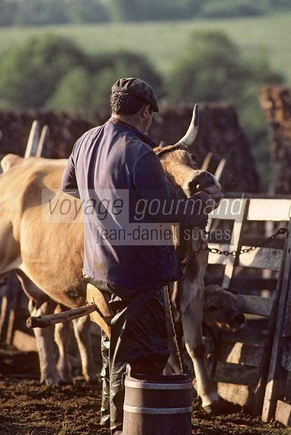 Europe/France/Auvergne/12/Aveyron: Aubrac - Traite des vaches aubrac au buron de canut - Fourme de Laguiole AOC [Non destiné à un usage publicitaire - Not intended for an advertising use] [Non destiné à un usage publicitaire - Not intended for an advertising use]  <br /> PHOTO D'ARCHIVES // ARCHIVAL IMAGES<br /> FRANCE 1980