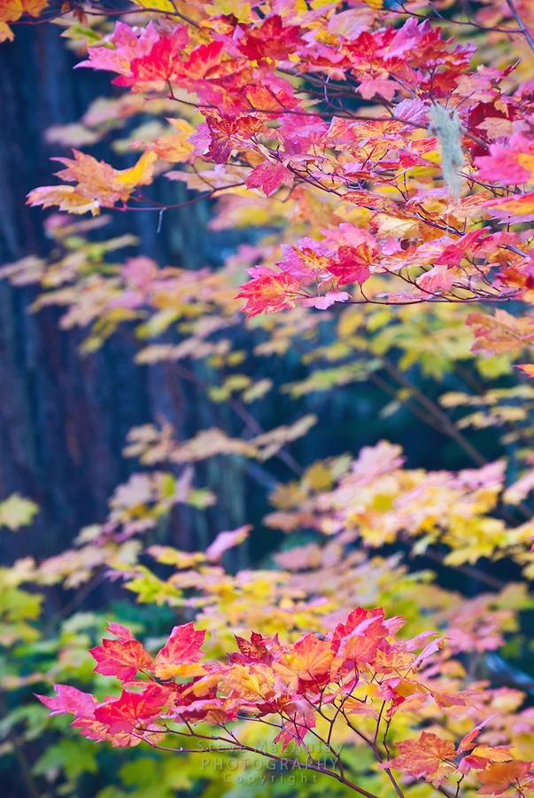 Colorful Fall foliage, Washington Pass. Highway 20 through North Cascades National Park. WA.