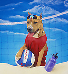 Pit Bull dog as beach volleyball player.