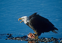 Bald Eagle (Haliaeetus leucocephalus) guarding salmon head it is feeding on.  Winter.