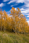 Golden Aspen leaves, aspen trees in fall, white bark, autumn, fall leaves, fall color, Markagunt Plateau, Cedar Mountain, Hwy 132, Mile Marker 24, Dixie National Forest, Utah, UT, Image ut315-18875, Photo copyright: Lee Foster, www.fostertravel.com, lee@fostertravel.com, 510-549-2202
