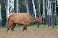 Elk or Wapiti - Cervus canadensis