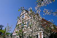 Deutschland, Niedersachsen, Altes Land, Steinkirchen, Fachwerkhaus und Kirschblüte