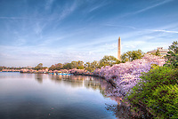 Cherry Blossoms Washington Monument Tidal Basin Washington DC Cherry Blossoms Jefferson Memorial Tidal Basin Washington DC Cherry Blossoms blooming around the Tidal Basin in Washington, DC symbolize the natural beauty of our nation's capital city and has become part of Washington, D.C.'s rite of spring. Landmarks include the Jefferson Memorial, Washington Monument, and US Capitol. A popular tourist attraction and travel destination for many visiting Washington, D.C.