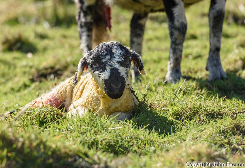 A newly born Mule lamb, Chipping, Preston, Lancashire.