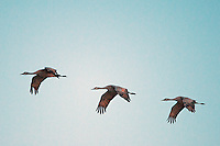 March 11, 2016 - Monte Vista, Colorado, U.S. -  At dusk, Sandhill Cranes fly over southern Colorado's Monte Vista National Wildlife Refuge at.<br /> <br /> Each year more than 20,000 Sandhill Cranes migrate through the wetlands of the San Luis Valley's Monte Vista National Wildlife Refuge, Monte Vista, Colorado.  The Rocky Mountain population of the Greater Sand Hill Cranes spends more time in the San Luis Valley than at either of their wintering or breeding grounds.  The peak springtime migration is mid-March.
