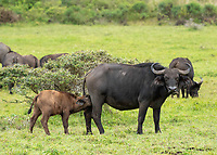 A Cape Buffalo calf, Syncerus caffer caffer, approaches its mother to nurse in Arusha National Park, Tanzania
