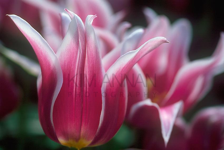 Pink & White Tulip