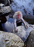 A Japanese macaque or snow monkey sits in a hot spring in Jigokudani National Park, Japan.