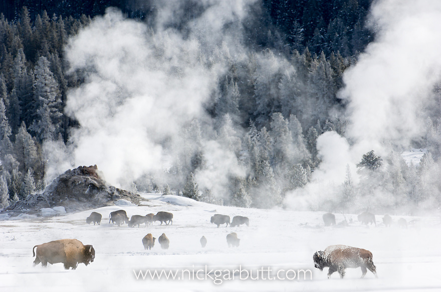 Herd of American Bison (Bison bison) around geo-thermal features. Firehole River Valley. Yellowstone National Park, Wyoming, USA. January.