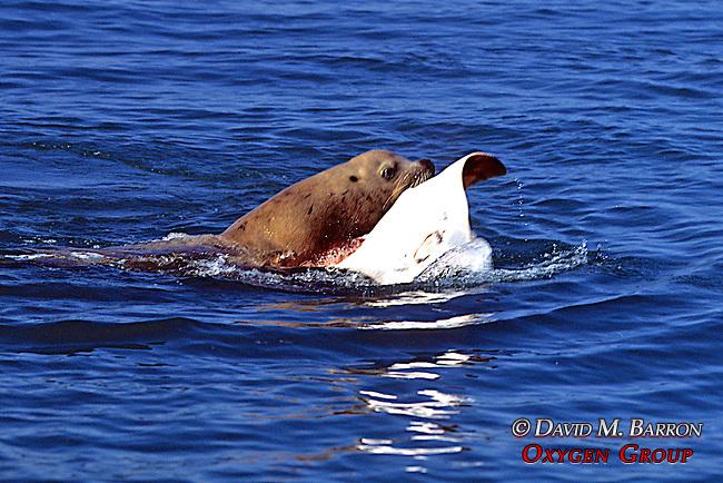 Sea Lion Eating Sting Ray