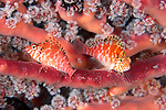 Cirrhitichthys aprinus, Threadfin hawkfish, Raja Ampat, Indonesia