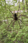 Spider on window screen
