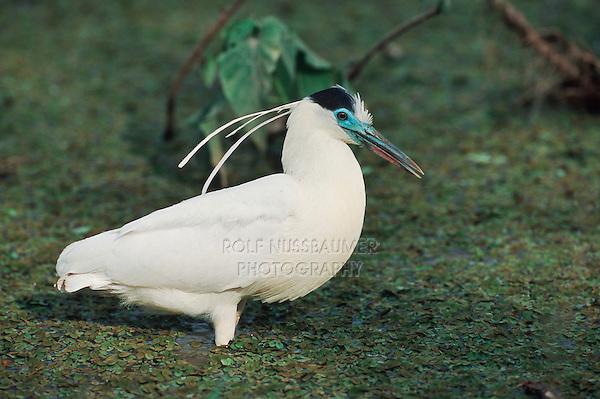 Capped Heron (Pilherodius pileatus), adult walking, Pantanal, Brazil, South America