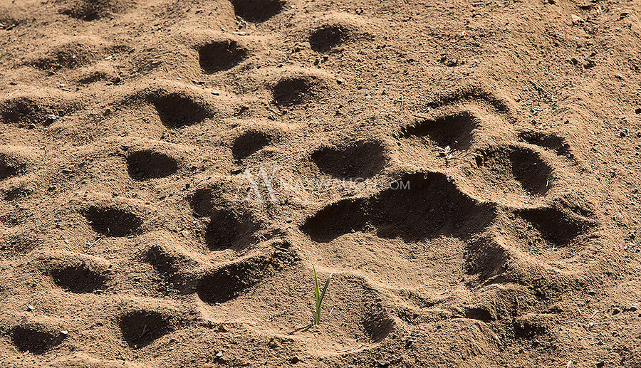 A paw print from a large Bengal tiger next to some tire tracks.