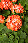 PELARGONIUM HORTORUM 'PINTO PREMIUM ORANGE BICOLOR', ZONAL GERANIUM