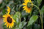 Europa, DEU, Deutschland, Nordrhein Westfalen, NRW, Bergisches Land, Sonnenblume, Blüte, Regen, Regenschauer, Helianthus annuus, Kategorien und Themen, Natur, Umwelt, Pflanzen, Pflanzenkunde, Botanik, Biologie, Wetter, Wetterelemente, Wetterlage, Wetterkunde, Witterung, Witterungsbedingungen, Wettererscheinungen, Meteorologie, Wettervorhersage<br /> <br /> [Fuer die Nutzung gelten die jeweils gueltigen Allgemeinen Liefer-und Geschaeftsbedingungen. Nutzung nur gegen Verwendungsmeldung und Nachweis. Download der AGB unter http://www.image-box.com oder werden auf Anfrage zugesendet. Freigabe ist vorher erforderlich. Jede Nutzung des Fotos ist honorarpflichtig gemaess derzeit gueltiger MFM Liste - Kontakt, Uwe Schmid-Fotografie, Duisburg, Tel. (+49).2065.677997, archiv@image-box.com, www.image-box.com]