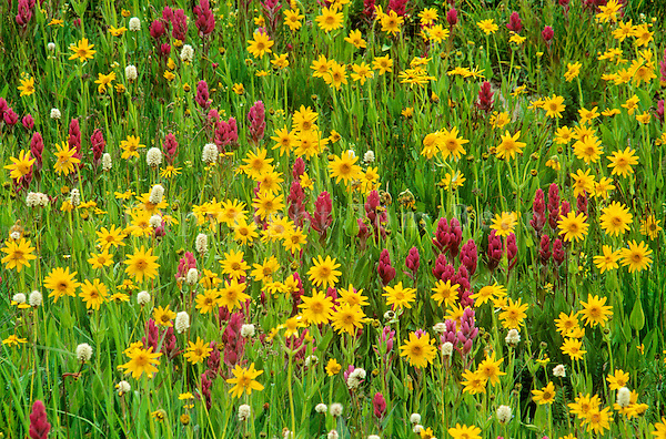 Alpine wildflowers in meadow at Yankee Boy Basin, near Ouray, Colorado, AGPix_0186.