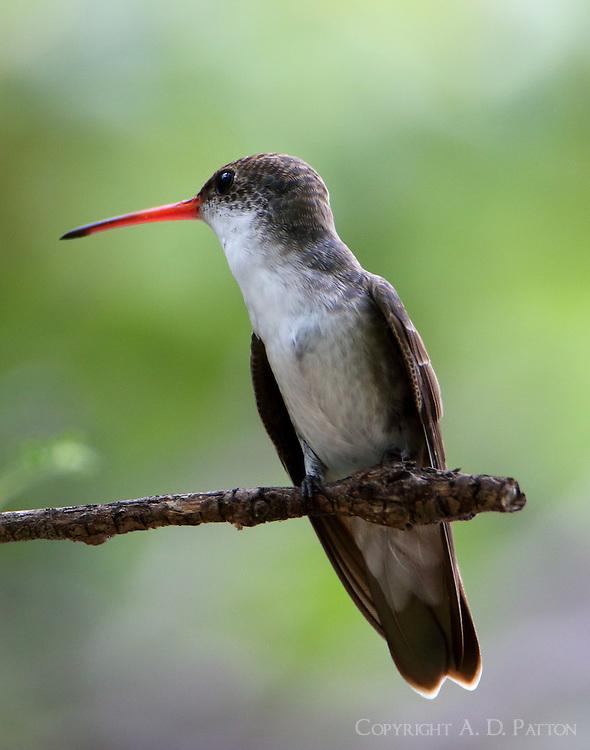 Juvenile violet-crowned hummingbird