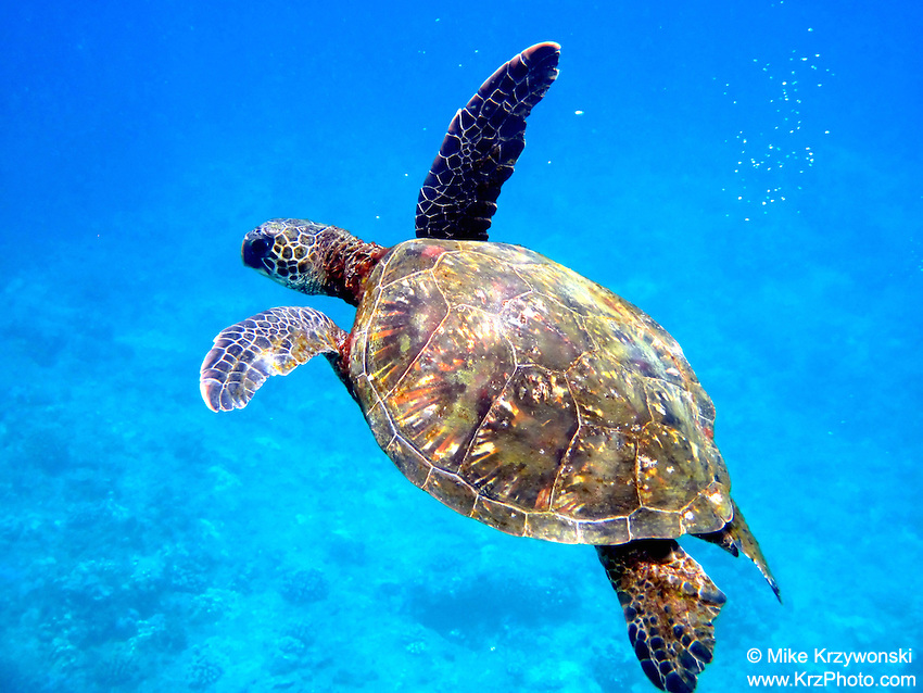 Hawaiian Green Sea Turtle (honu) swimming underwater