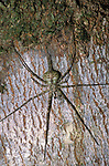 Two Tailed Spider, Hersilia bicornutus, Belize, hunting at night, Central America