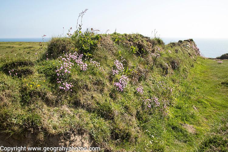 Armeria maritima, sea thrift, stone field boundary, Lizard Peninsula, Cornwall, England, UK