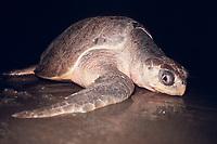 nesting female olive ridley sea turtle, Lepidochelys olivacea ( endangered ), Nancite Beach, Santa Rosa, Costa Rica, Pacific Ocean