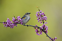 Yellow-rumped Warbler (Dendroica coronata), adult perched in Eastern Redbud (Cercis canadensis), Hill Country, Central Texas, USA