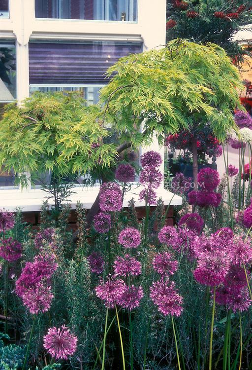 Allium hollandium 'Purple Sensation' aka Allium aflatuense (garden), Allium, Acer Japanese maple, in front of house window