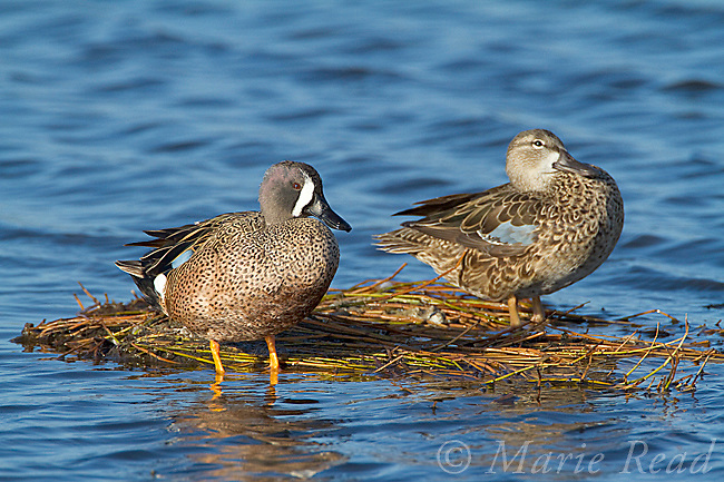 Blue-winged Teal (Anas discors) pair (male left, female right) perched on floating vegetation, Merritt Island National Wildlife Refuge, Florida, USA