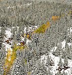 Panorama, stitched images, Georgetown Colorado, Quaking aspens (Populus tremuloides) in fall color with the snow. The view was beautiful, so i tried to take it all in.