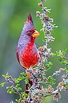 pyrrhuloxia or desert cardinal (Cardinalis sinuatus), texas , Starr County