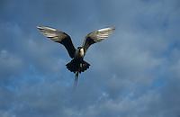 Long-tailed Jaeger, Stercorarius longicaudus, adult in flight, Gednjehogda, Norway, Europe