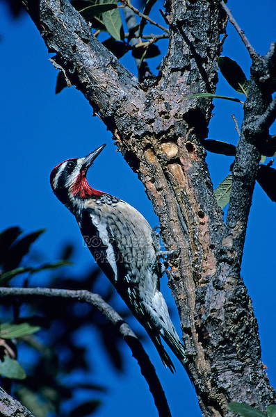 Red-naped Sapsucker, Sphyrapicus nuchalis, male at sap well, Madera Canyon, Arizona, USA, January 1995