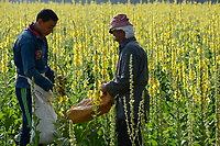 EGYPT, Bilbeis, Sekem organic farm, desert farming, harvest of flowers of Mullein which is used for natural pharmaceuticals and medicine / AEGYPTEN, Bilbeis, Sekem Biofarm, Landwirtschaft in der Wueste, Ernte von Blaettern der Koenigskerze