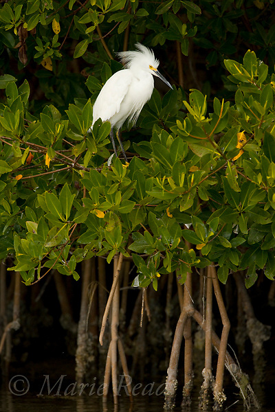 Snowy Egret perched in Red Mangrove (Rhizophora mangle), Little Estero Lagoon, Ft. Myers, Florida, USA