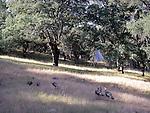 Turkeys and tent at Harbin Hot Springs