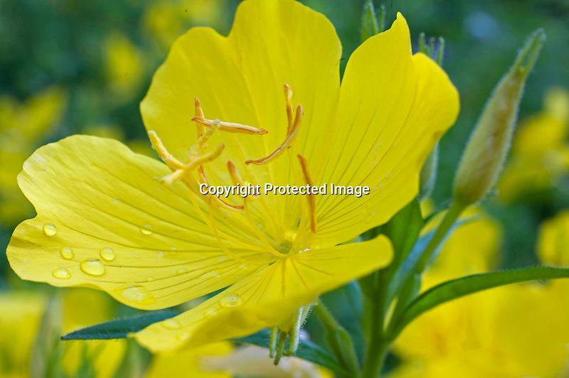 Evening Primrose Blossom