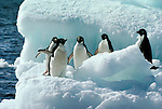 Adelie penguins, pictured in Antarctica, are the archetypal penguin species that are supposed to resemble men in dinner suits. This is because they have a white front and a black back. They also have a white ring around the eye.