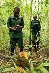Anti-poaching snare removal team members, John Okwilo and Godfrey Nyesiga, noting illegally cut tree, Kibale National Park, western Uganda