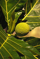 Breadfruit or ulu is a  local Hawaiian plant which can be eaten