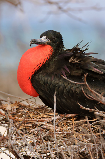 Dispalying adult male Magnificent Frigatebird (Fregata magnificens) with inflated gular sac. Dry Tortugas National Park, Florida. March.
