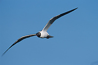 Laughing Gull, Larus atricilla, adult in flight, Welder Wildlife Refuge, Sinton, Texas, USA, June 2005