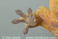 Right rear foot pads of New Caledonian Crested Gecko, Rhacodactylus ciliatus, also called Guichenot's Giant Gecko or Eyelash Gecko.  Microscopic setae and spatulae on the gecko's feet allow it to walk on almost any surface.  Endemic to New Caledonia in the South Pacific, the crested gecko was thought extinct until it was rediscovered in 1994.  It is now one of the most commonly kept species of gecko in captivity.  .